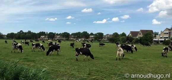 Koeien in kleine wei