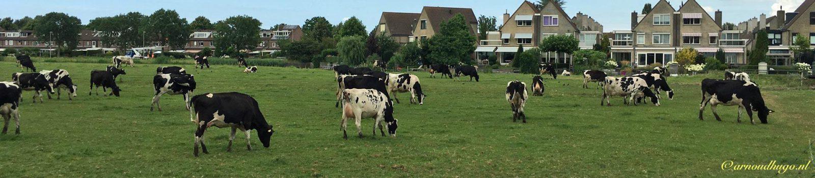 Koeien met pleinvrees