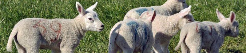 Slager en lamsvlees