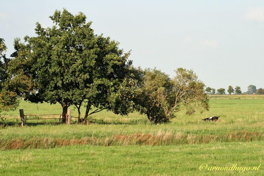 Koe onder een boom in Friesland