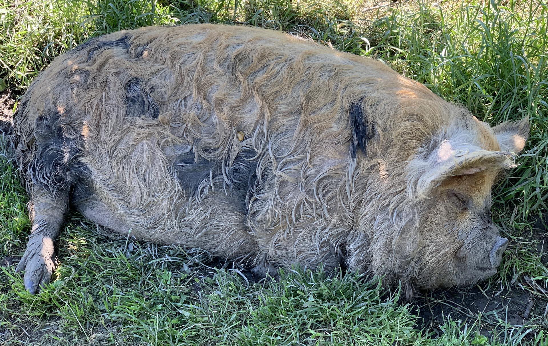 De varkens van Schiphol